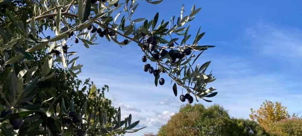 Ελιά, το ιερό δέντρο, από την αρχαιότητα μέχρι τις μέρες μας